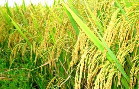 越南政府总理指导加大稻谷收购力度 hinh anh 1
