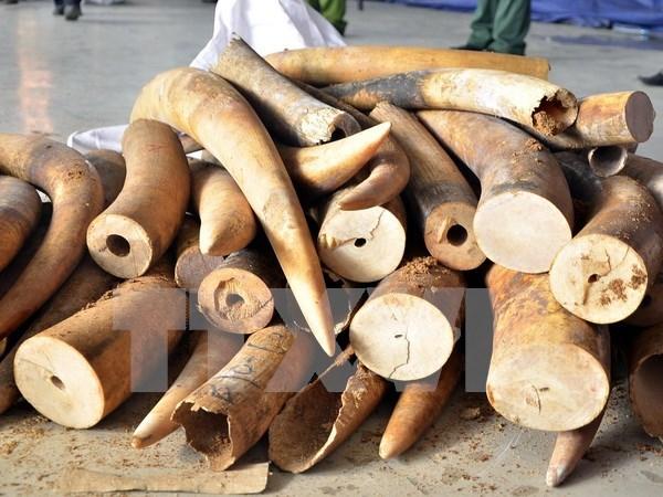 胡志明市海关分局查获逾700公斤走私象牙藏匿在空心树干中 hinh anh 1