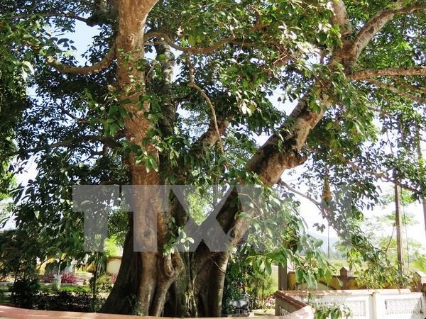 河静省一棵榕树被列入越南文化历史遗迹树名单 hinh anh 1