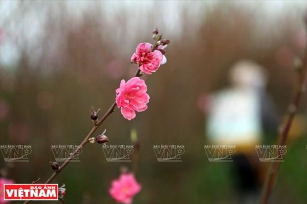 日新桃花复种季节 hinh anh 12