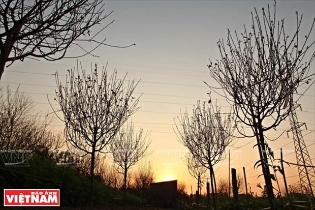 日新桃花复种季节 hinh anh 2