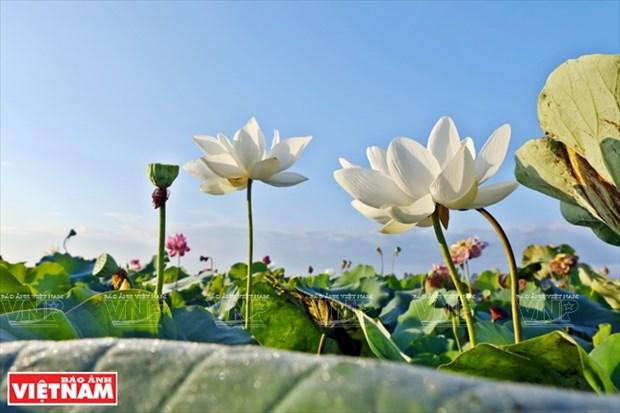 宁楚荷塘的珍稀莲花(组图) hinh anh 1