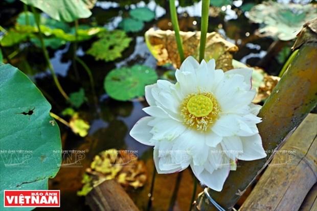 宁楚荷塘的珍稀莲花(组图) hinh anh 12