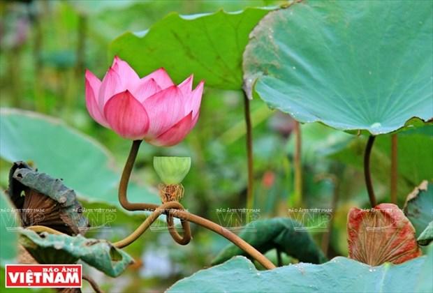 宁楚荷塘的珍稀莲花(组图) hinh anh 14