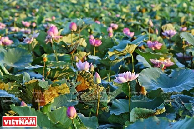 宁楚荷塘的珍稀莲花(组图) hinh anh 17