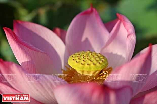 宁楚荷塘的珍稀莲花(组图) hinh anh 2