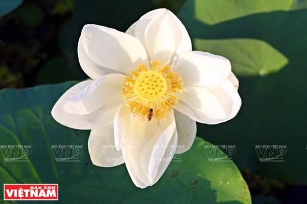 宁楚荷塘的珍稀莲花(组图) hinh anh 5