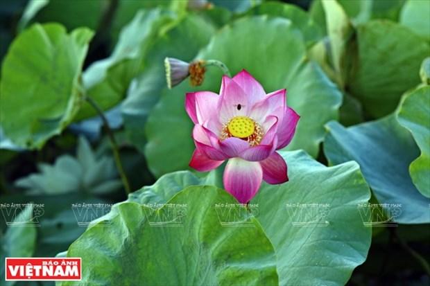 宁楚荷塘的珍稀莲花(组图) hinh anh 6