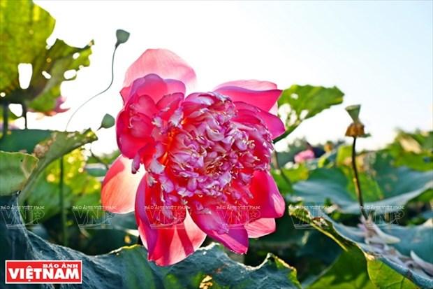 宁楚荷塘的珍稀莲花(组图) hinh anh 8