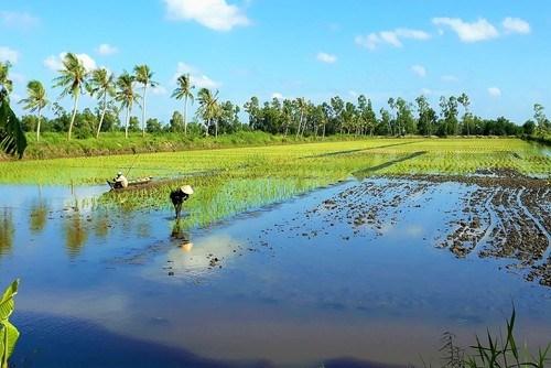 金瓯省:建设高质量水稻原材料生产基地 hinh anh 1