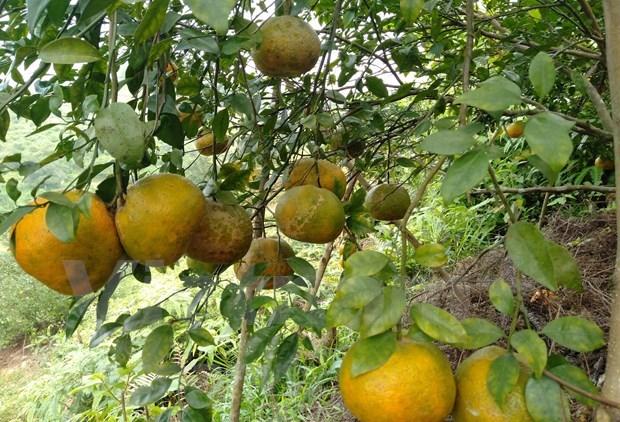 补橙子——香山山区的主要农产品 hinh anh 4