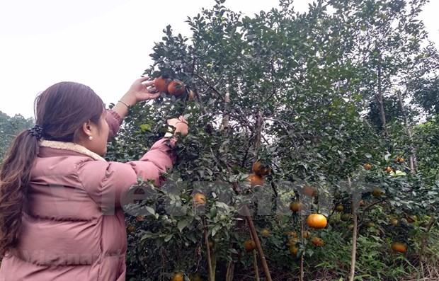 补橙子——香山山区的主要农产品 hinh anh 1