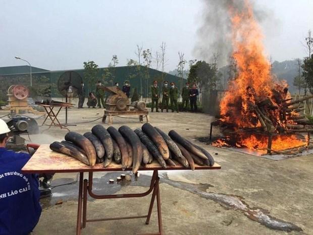 世界大象日:销毁象牙应成为越南的惯例 hinh anh 1