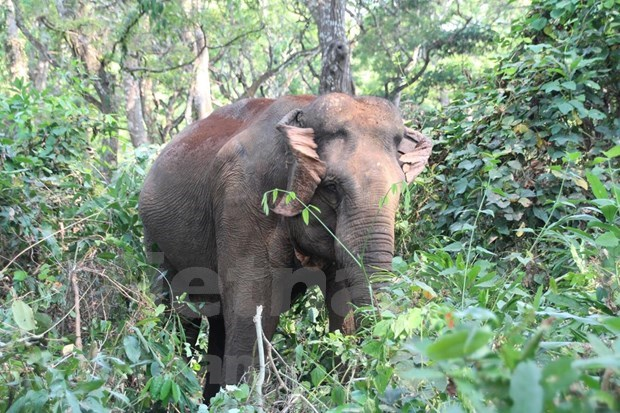 世界大象日:销毁象牙应成为越南的惯例 hinh anh 2