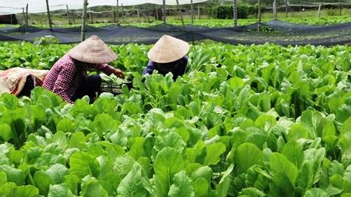 胡志明市发挥城市农业的优势 hinh anh 1