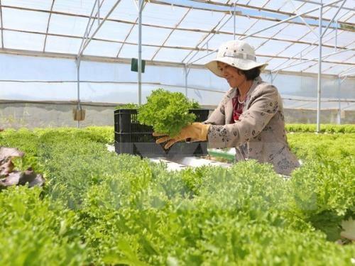 林同省大叻市将成为东南亚第一蔬菜生产中心 hinh anh 1