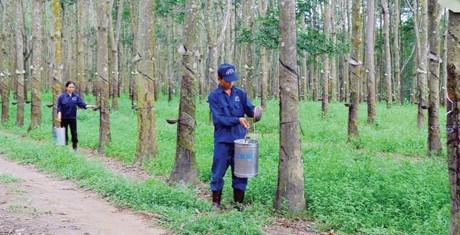 越南力推在柬埔寨的橡胶树种植项目发展 hinh anh 1