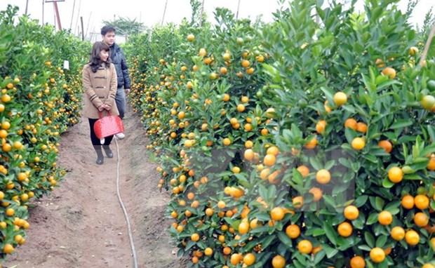 2017年金橘盆景节在会安世界文化遗产举行 hinh anh 1