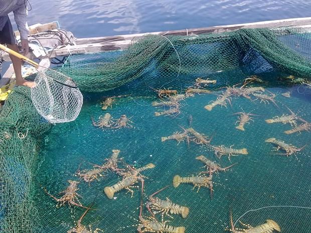 海水养殖业被视为越南水产业最具潜力的新走向 hinh anh 1