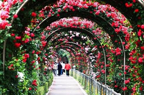越南规模空前的玫瑰节即将亮相河内 hinh anh 1