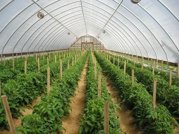 荷兰赴越南河南省考察建设越南与东南亚地区高品质蔬菜育种研究中心 hinh anh 1