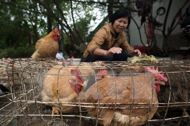 越南大力采取措施 严防H7N9禽流感 hinh anh 1