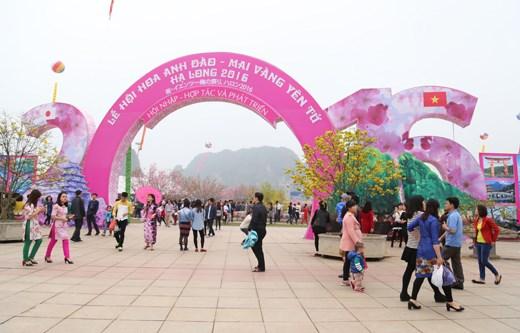 2017年樱花—安子黄梅花节将于3月中旬在下龙市举行 hinh anh 1
