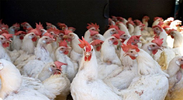 越南暂停进口美国家禽及其产品 hinh anh 1
