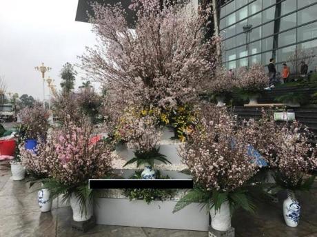 日本樱花节首次在永福省举行 hinh anh 1