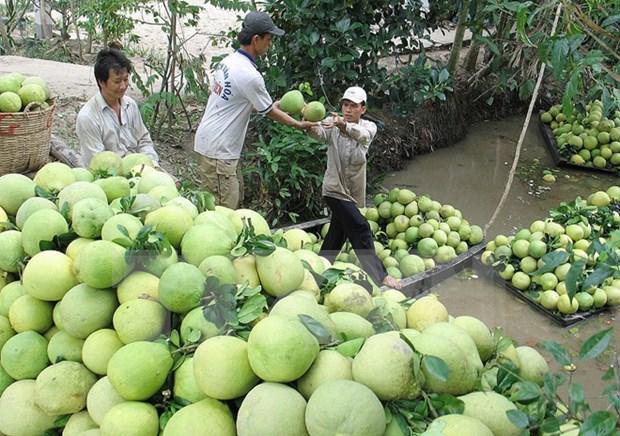 中国市场对越南九龙江三角洲地区绿皮柚需求猛增 hinh anh 1