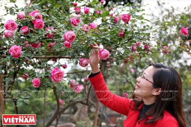 种植老玫瑰致富(组图) hinh anh 1