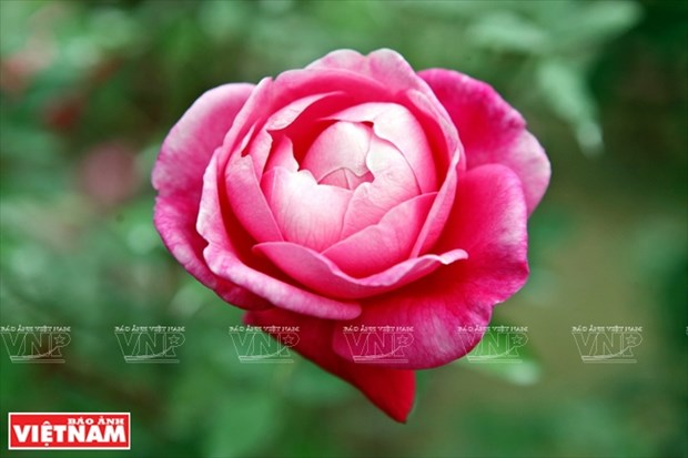 种植老玫瑰致富(组图) hinh anh 10