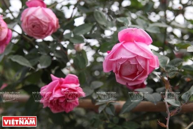 种植老玫瑰致富(组图) hinh anh 12