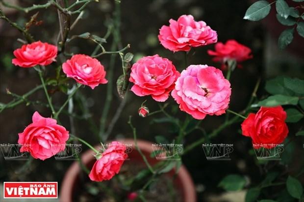 种植老玫瑰致富(组图) hinh anh 13