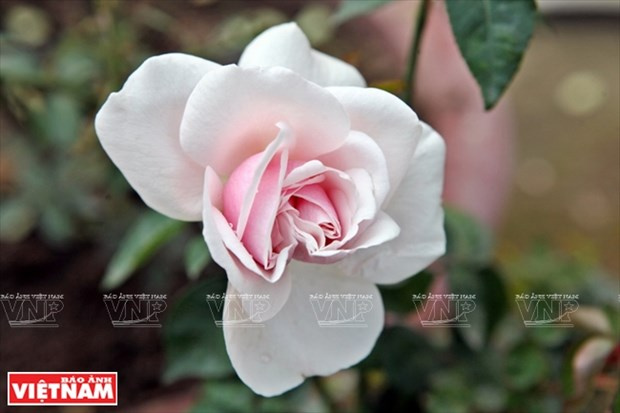 种植老玫瑰致富(组图) hinh anh 14