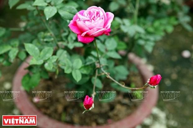 种植老玫瑰致富(组图) hinh anh 15