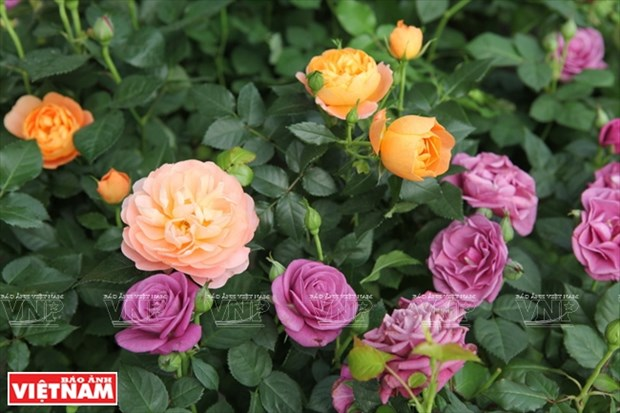 种植老玫瑰致富(组图) hinh anh 16