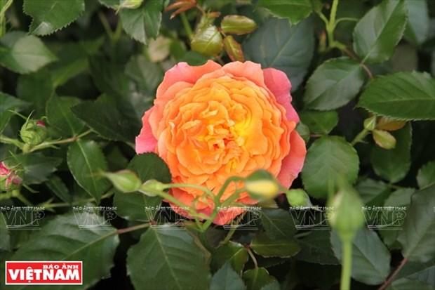 种植老玫瑰致富(组图) hinh anh 17