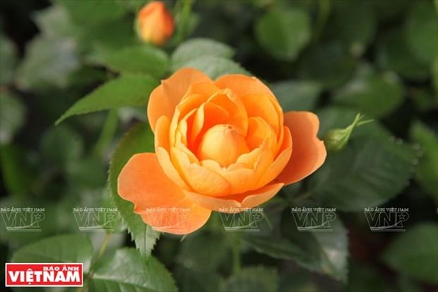 种植老玫瑰致富(组图) hinh anh 18