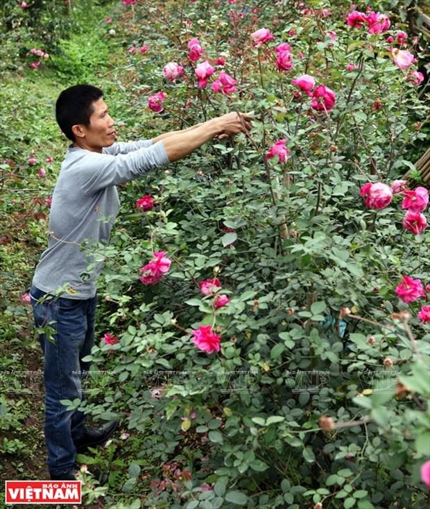 种植老玫瑰致富(组图) hinh anh 4