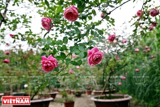 种植老玫瑰致富(组图) hinh anh 6