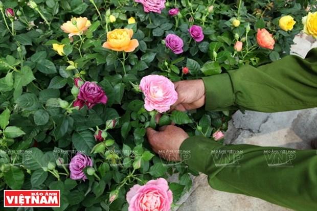 种植老玫瑰致富(组图) hinh anh 8