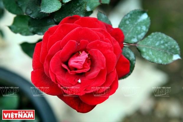 种植老玫瑰致富(组图) hinh anh 9