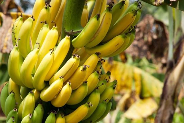 越南金瓯省香蕉进入迪拜市场 hinh anh 1