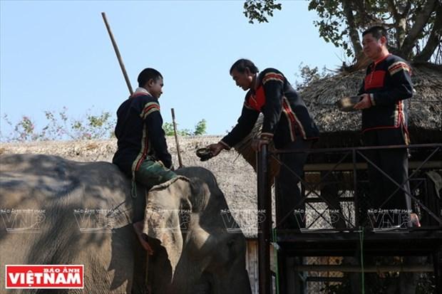 西原野象驯养业与赛象节(组图) hinh anh 2