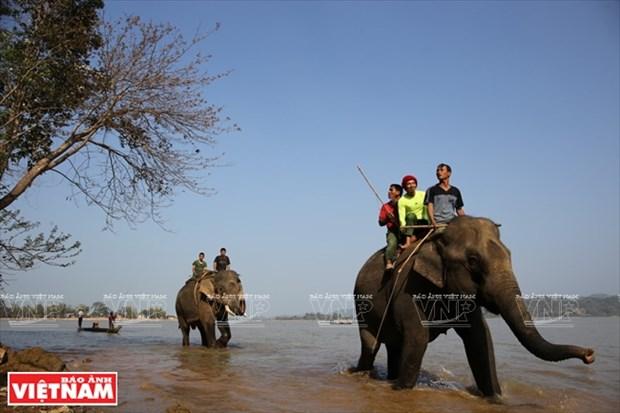 西原野象驯养业与赛象节(组图) hinh anh 6