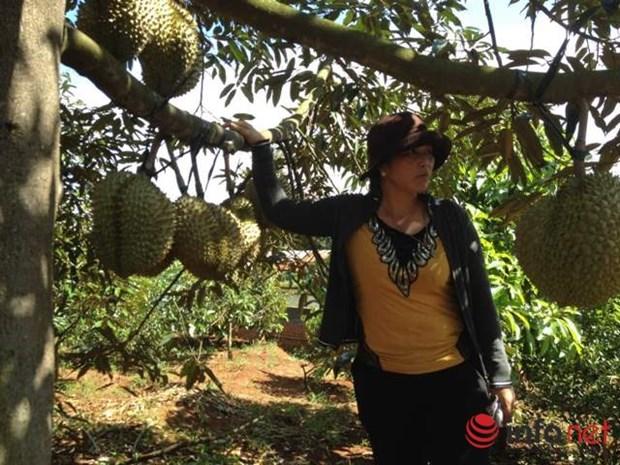得乐省着力扩大优质水果种植面积 提高居民收入 hinh anh 1