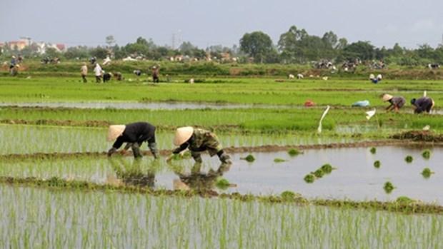 越南京族人的水稻种植业 hinh anh 1
