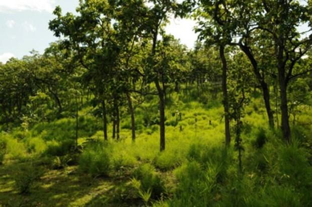 西原地区天然林面积继续减少 hinh anh 1