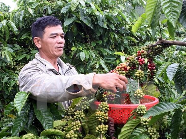 越南农业部即将颁发胡椒产地编码 致力实现胡椒安全、可持续发展 hinh anh 1